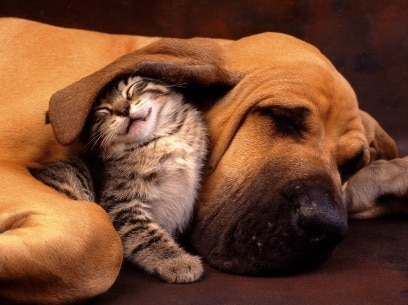 Cute photo of kitten sleeping with a hound dog